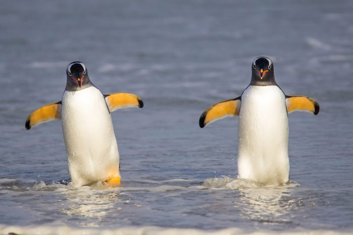 Two Gentoo Penguins coming in from fishing. Falkland Islands.