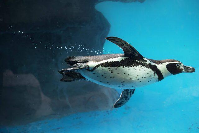 Closeup of Penguin swimming underwater. Humboldt species