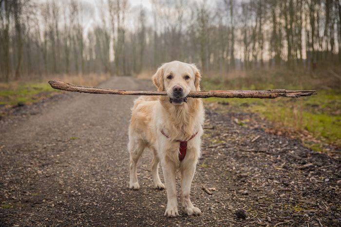 Golden retriever in the woods