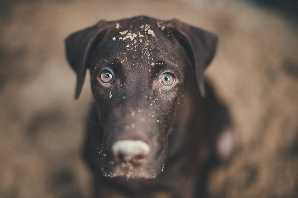labrador retriever looking like use the eye appeal to his owner .it naughty dog playing sandy. Selective focus on eye dog. color retro style