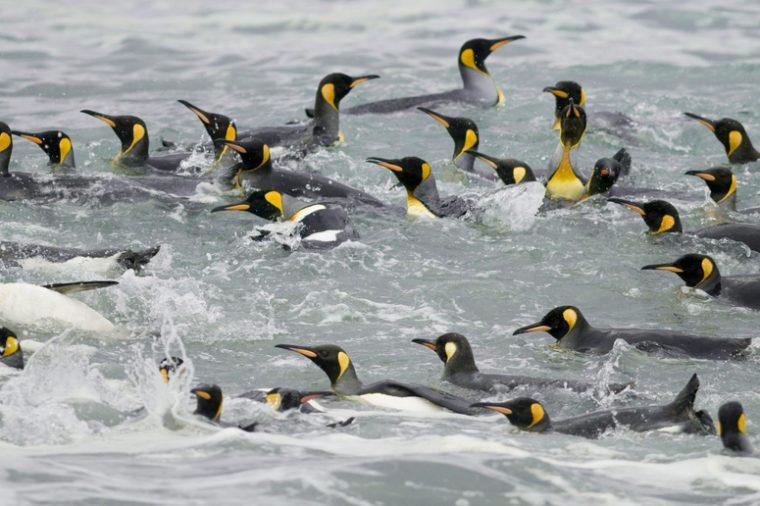 Funny cartoon penguins