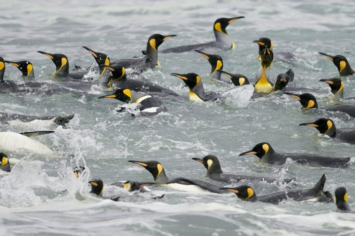 Group of king penguins swimming