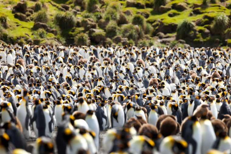 King Penguins, Aptenodytes patagonicus on Macquarie Island, Sub-antarctic Islands, Australia