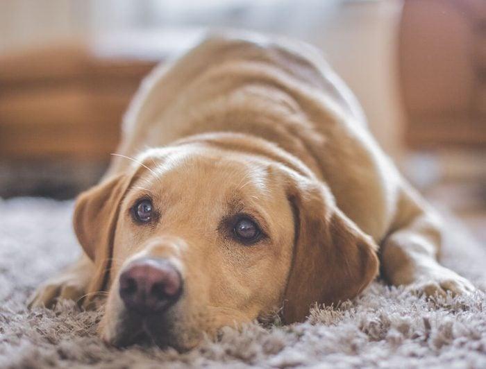 Golden Labrador dog