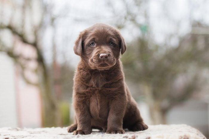 Labrador puppy cute