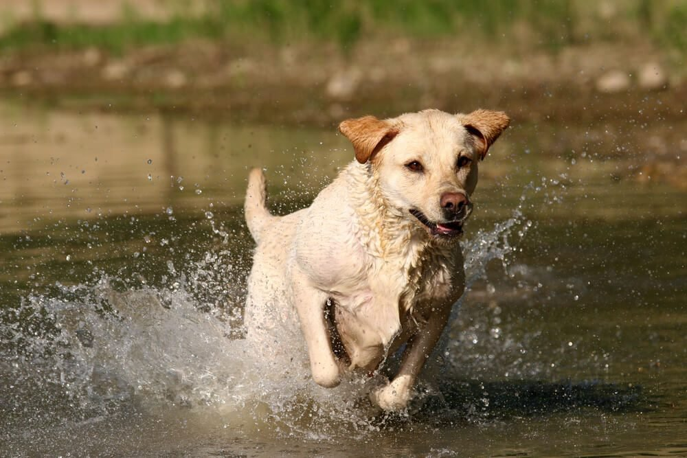 Labrador retriever jumping in the water.