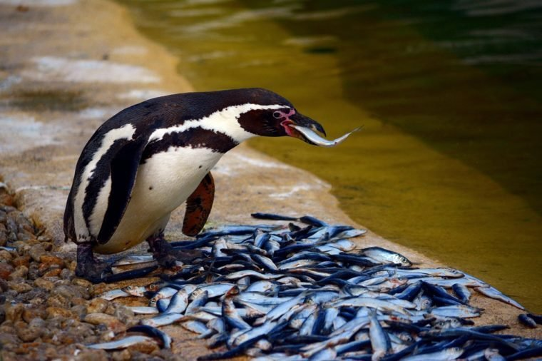 Penguins eat fish in the zoo