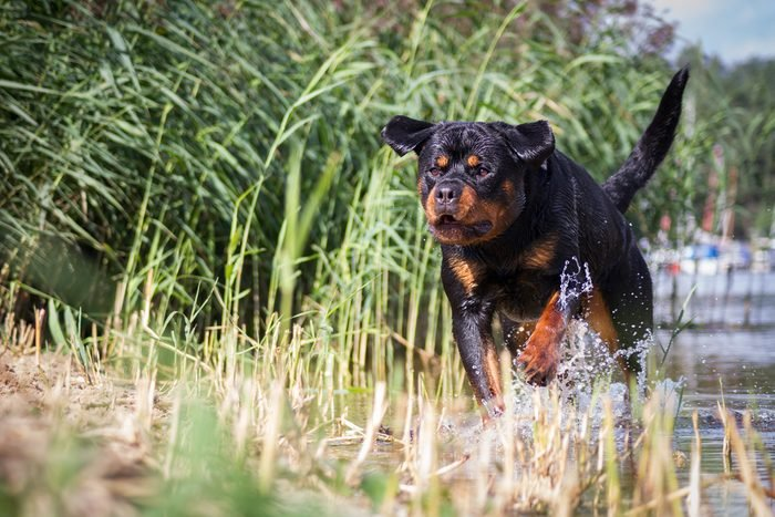 Rottweiler jump. Dog ran in the water.