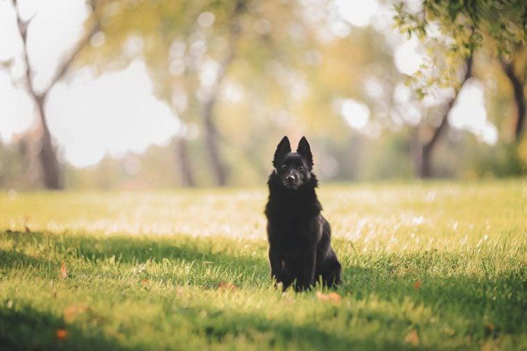 Dog beautiful schipperke in autumn