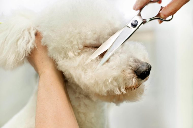 Groomer in a grooming salon trimming the long curly coat of a white dog with a pair of scissors cutting the hair on the nose between the eyes