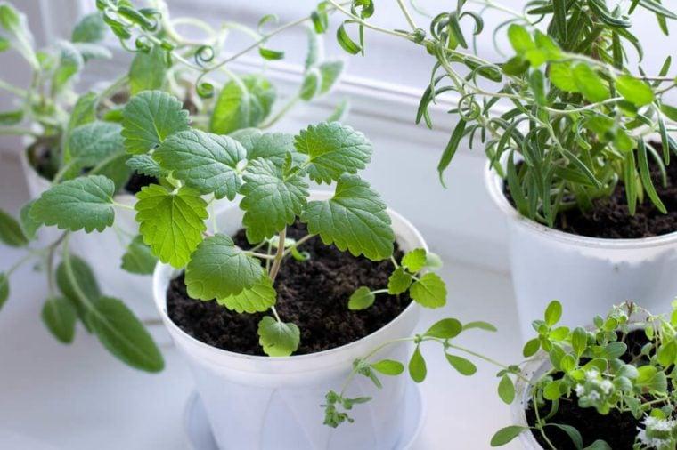 Herbs on the window