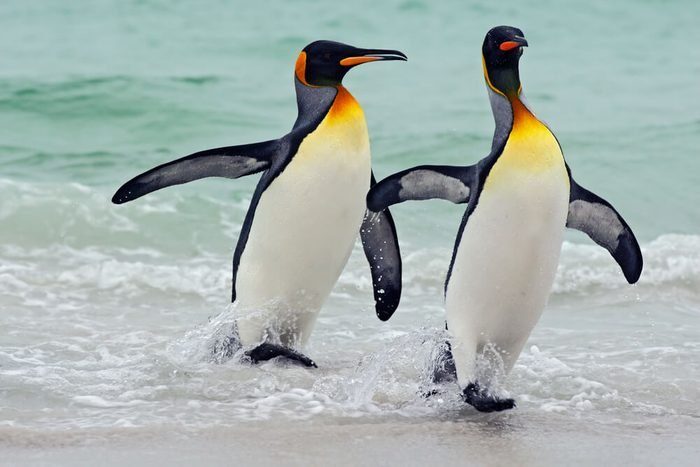 King penguins going from blue water, Atlantic ocean in Falkland Island. Sea bird in the nature habitat. Penguins in the water. Penguins in the sea waves. Penguin with black and yellow head.