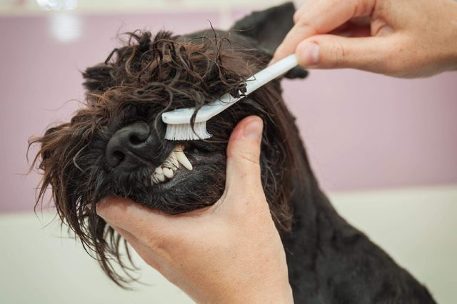 Miss cleans teeth dog observes hygiene and healthy lifestyle