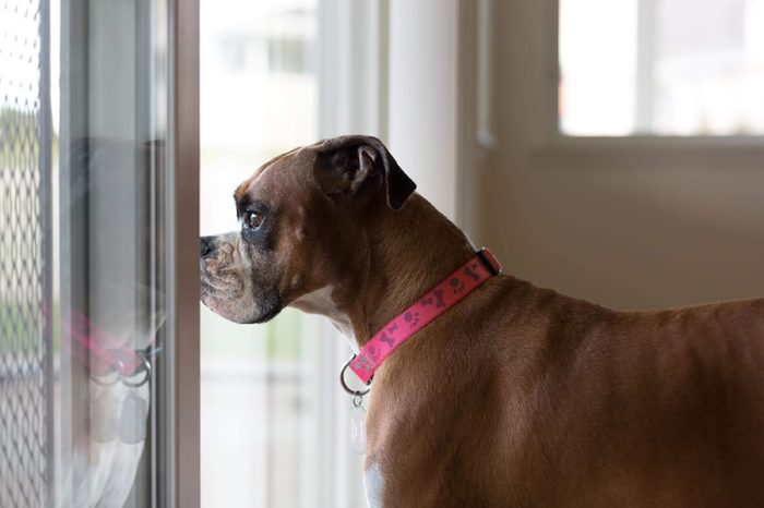 Purebred, female Boxer dog stands indoors, looking out the window, while dreaming about playing outside.