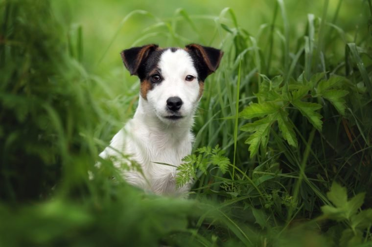 Little Puppy Jack Russell terrier in the grass
