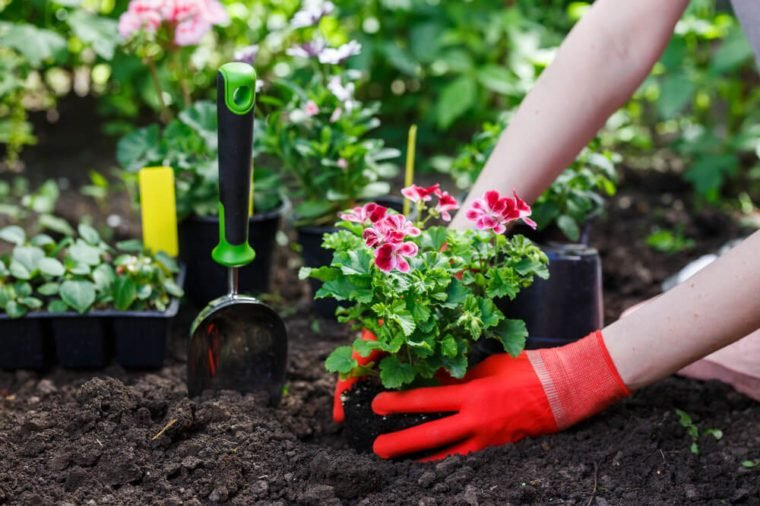 Gardeners hands planting flowers in the garden, close up photo