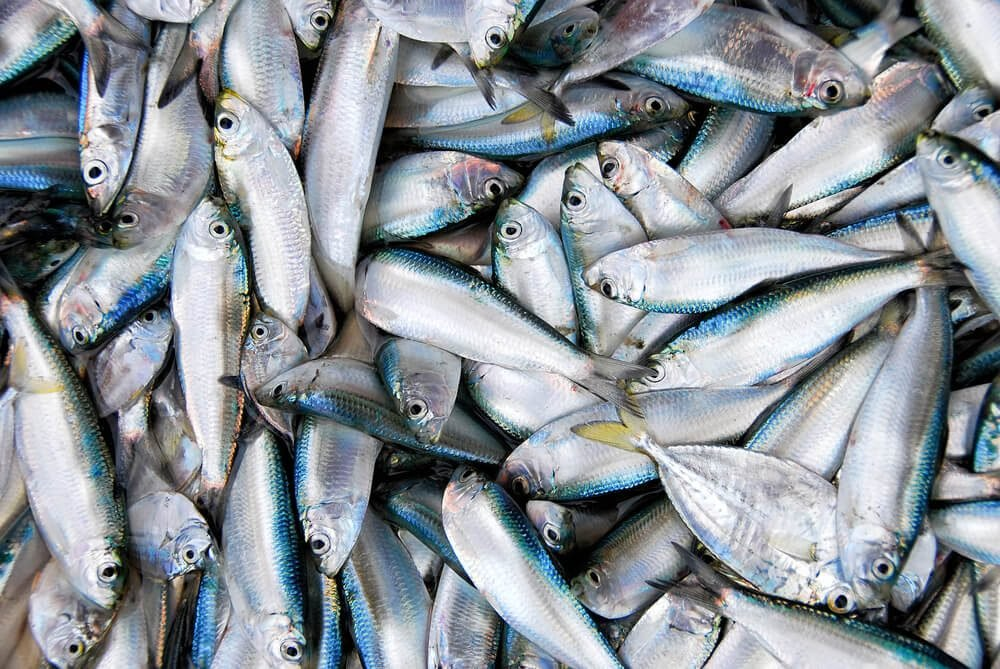 Fresh catch of sardine fishes in market