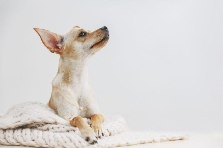 Dog at home. Domestic small cute toy terrier lying on knitting wool, cozy atmosphere, copy space, looking up