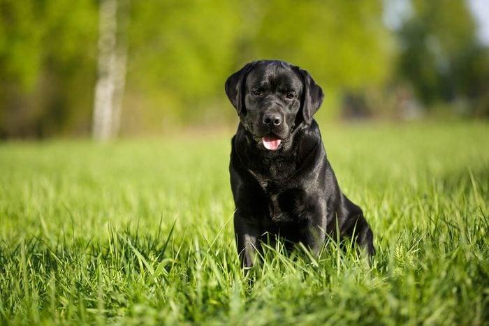 big black dog labrador retriever adult purebred lab in spring summer green park on the grass in sunshine