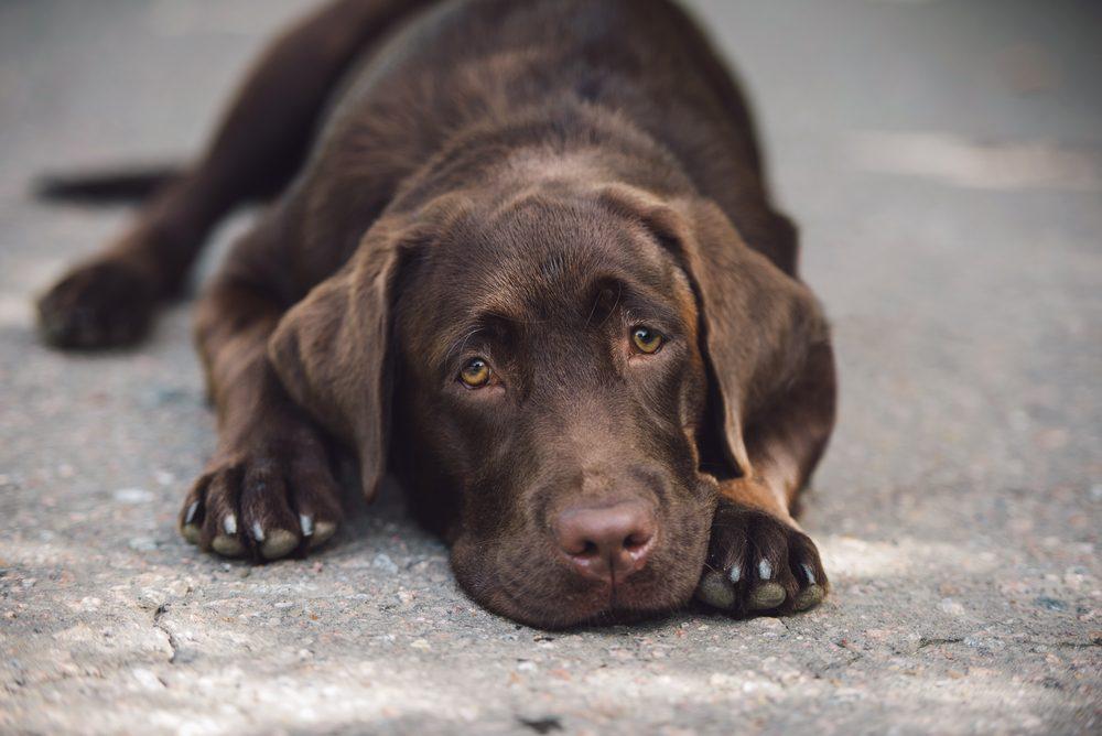 sad labrador lying on the ground