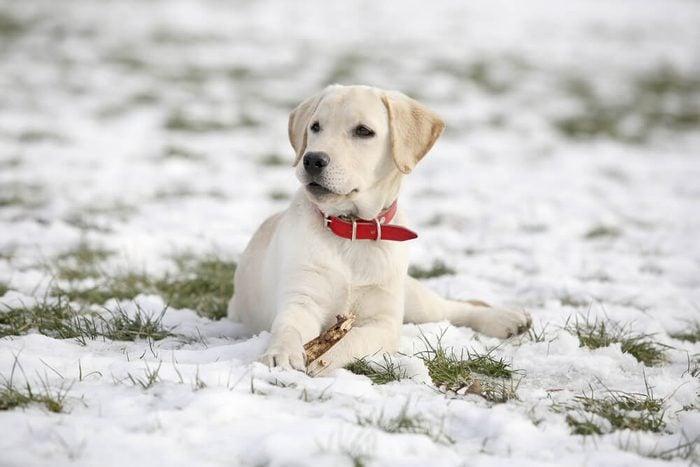 White Labrador retriever puppy on snow
