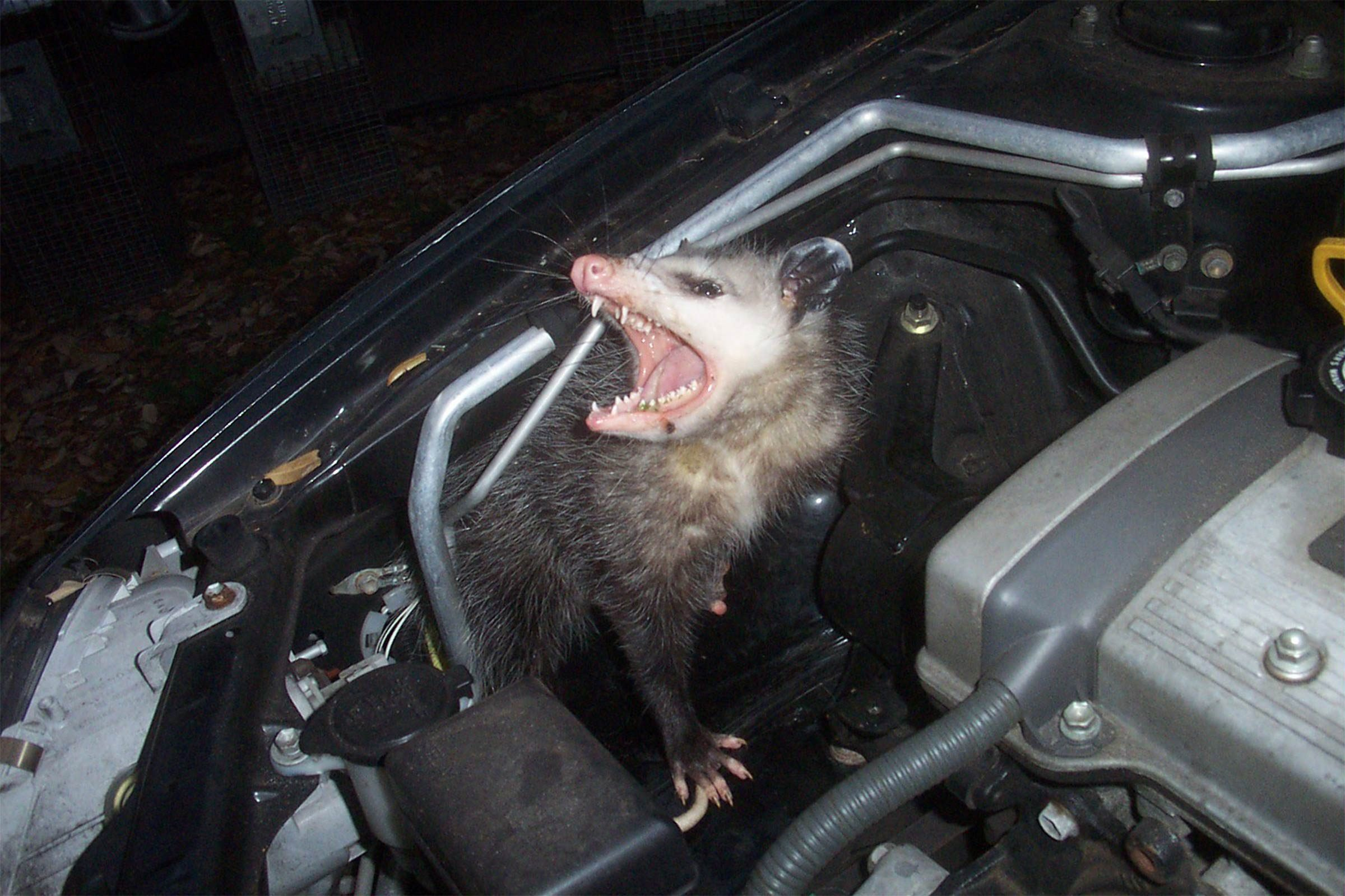 opossum_in_car