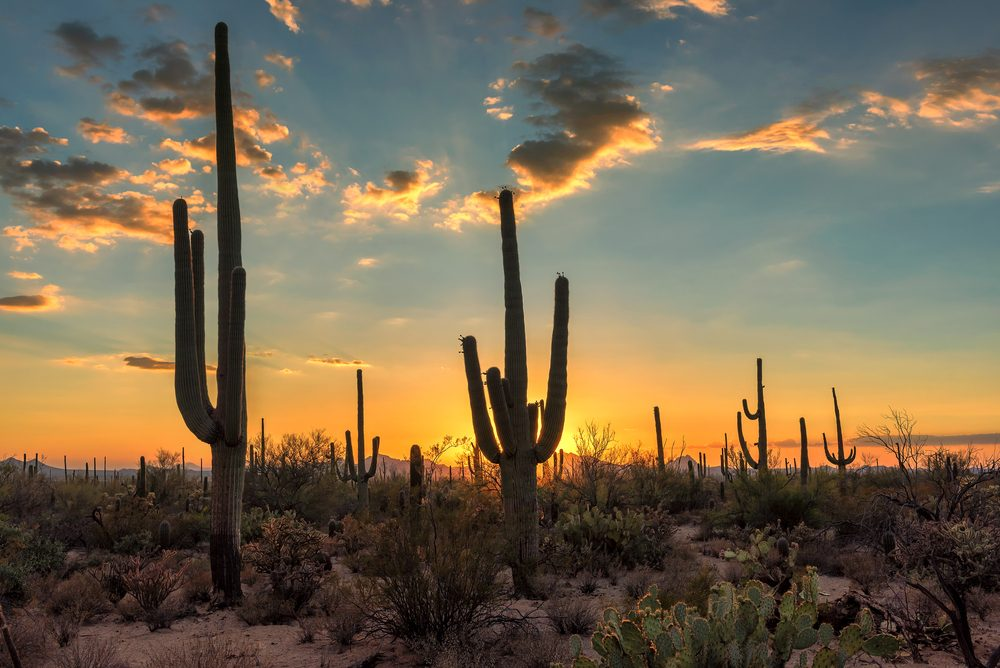 Arizona Saguaro cactus at beautiful sunset.