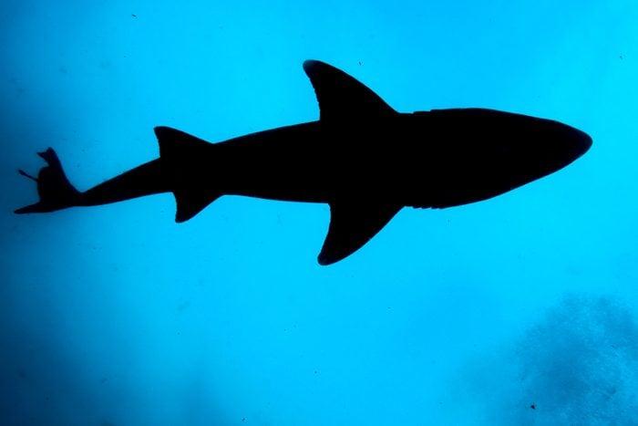 Sandtiger shark silhouette in Atlantic Ocean off Wilmington, North Carolina.