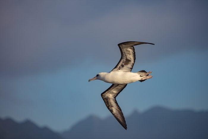 Laysan Albatross in fly