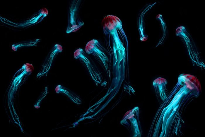 Background of Jellyfish Japanese Sea Nettle (Chrysaora pacifica) poisionous jellyfish. Blue neon glow light effect