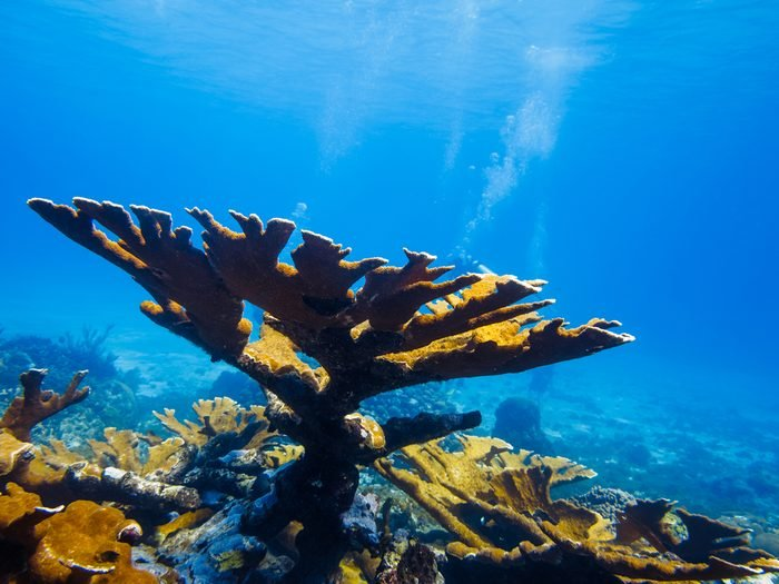 LITTLE CORN ISLAND, NICARAGUA: Elkhorn coral (Acropora palmata) on top of reef with divers in the background.