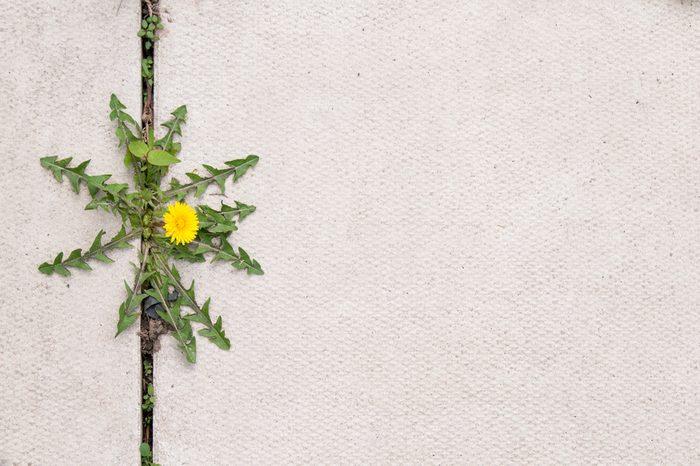 dandelion weed growing in the cracks between patio stones