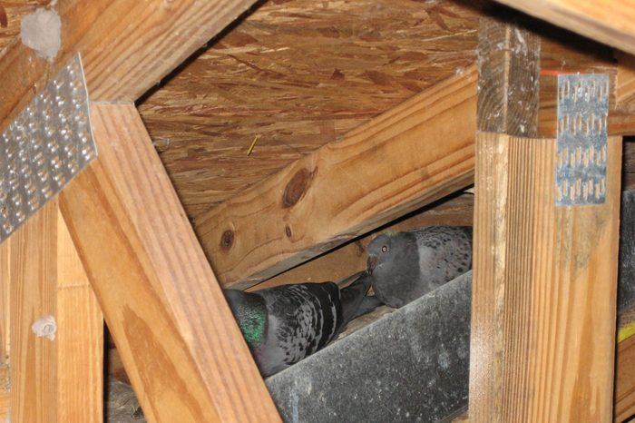 pigeon attic