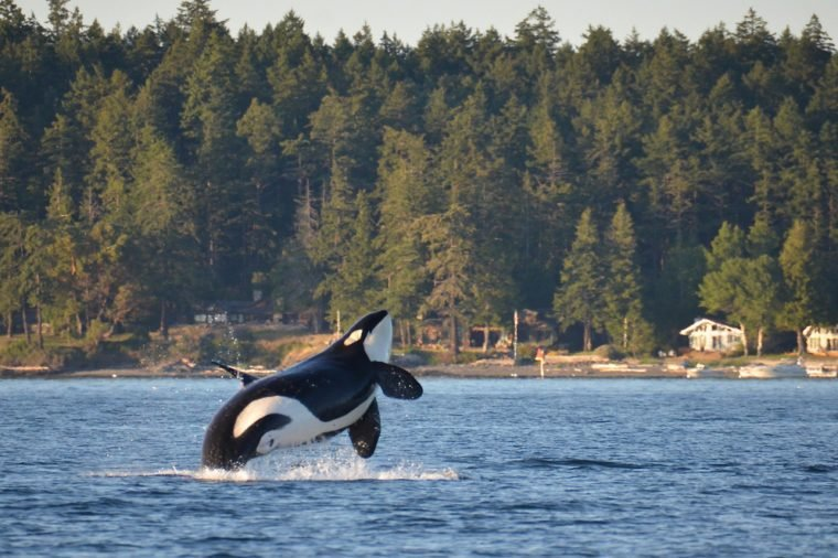 An endangered Southern Resident Killer Whale, an icon of the Pacific Northwest, breaches near Henry Island in Washington State.