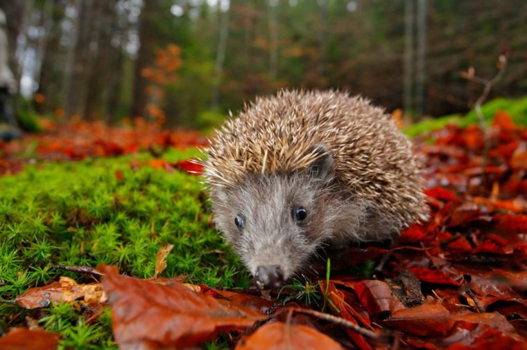 European Hedgehog, Erinaceus europaeus, on a green moss at the forest, photo with wide angle. Hedgehog in dark wood, autumn image.Cute funny animal with snipes. Orange autumn leaves with hedgehog
