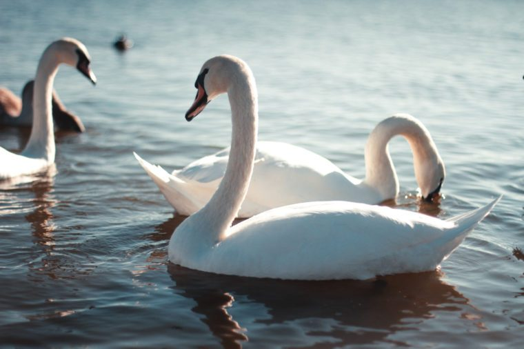 Beautiful white swan with the family in swan lake, romance, seasonal postcard, selective focus