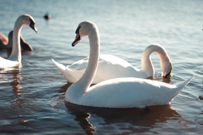 Beautiful white swan with the family in swan lake, romance, seasonal postcard, selective focus