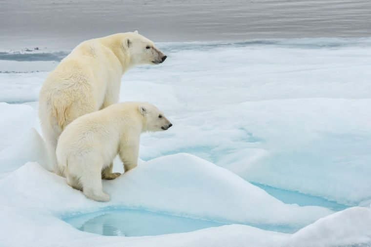 polar bear mother and cub along ice floe in arctic ocean above norway's svalbard islands