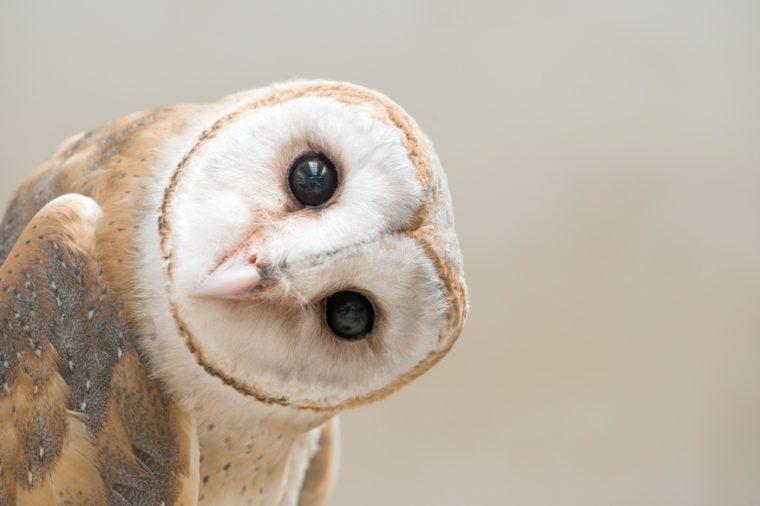 common barn owl ( Tyto albahead ) head close up