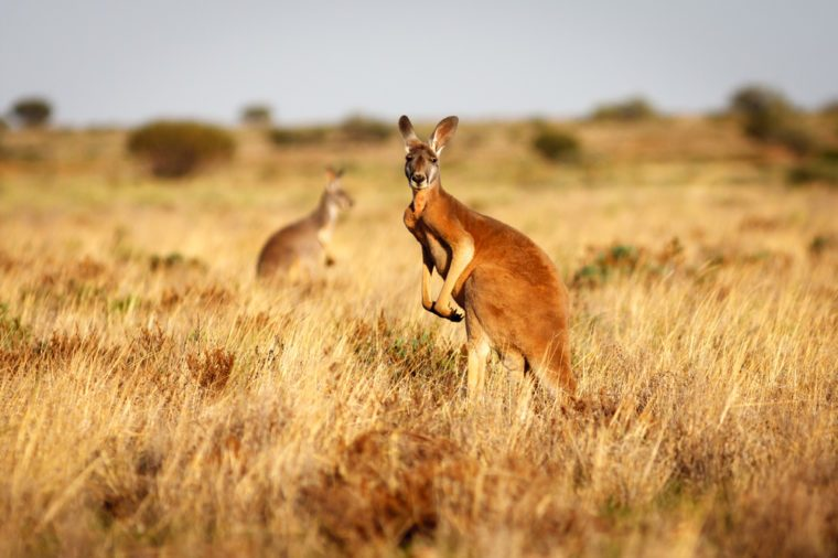 Red Kangaroo standing up in grasslands in the Australian Outback