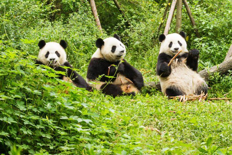 Three giant pandas has lunch, Giant Panda Breeding Research Base (Xiongmao Jidi), Chengdu, China