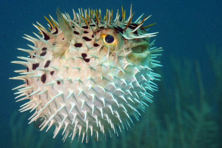 Blowfish or diodon holocanthus underwater in ocean in tropical destination