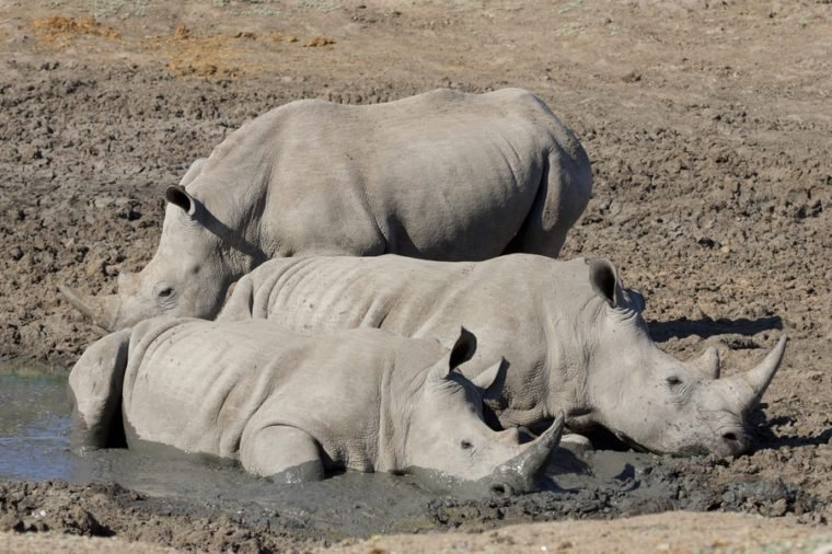 White Rhinos (Ceratotherium simum) wallowing in mud, South Africa