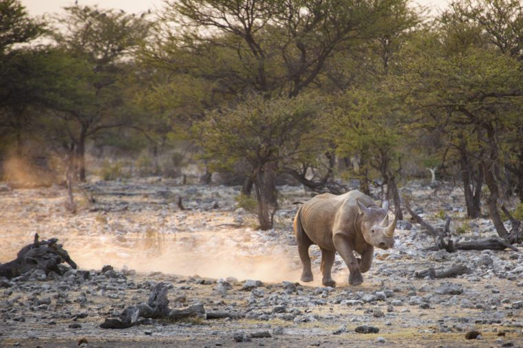 A Black Rhino kicks up dust whilst running away from a rising sun.