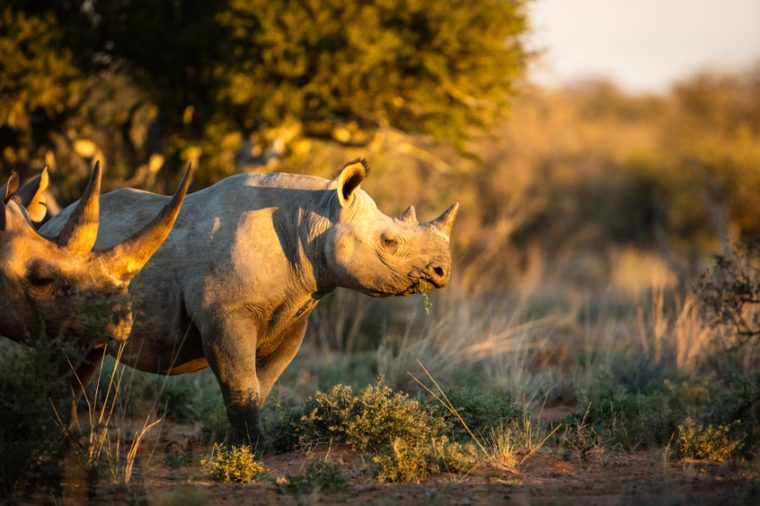 Black rhino feeding at sunset with a big horn