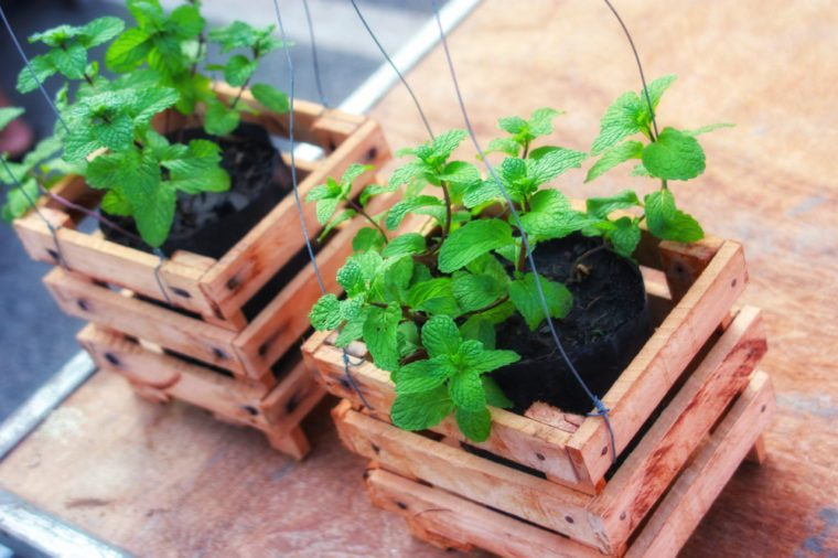 Peppermint trees planted in pots made of wood and gray rope hang it.