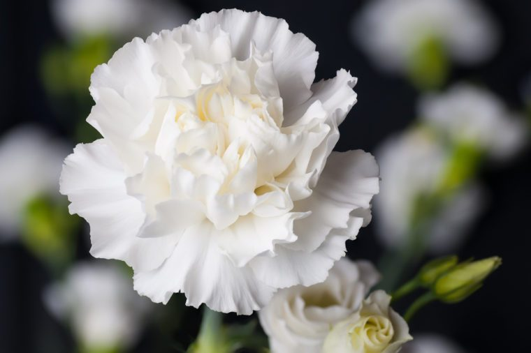 White Carnation Head with others in the back ground