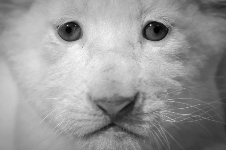 A White Lion Cub Looks at the Camera During a Photo Session at Circus Krone in Darmstadt Germany 24 May 2013 Circus Krone Has Introduced Six Baby Lions Four White and Two Brown They Were Born Two Weeks Ago Germany Darmstadt