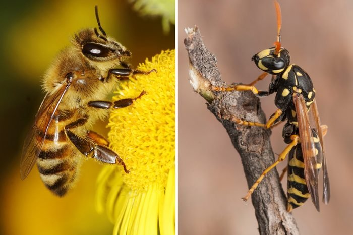 Bee-Vs-Wasp