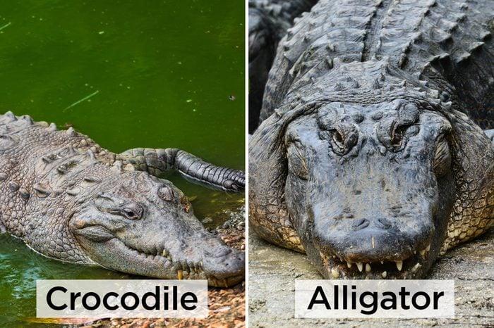 Croc-vs-Alligator